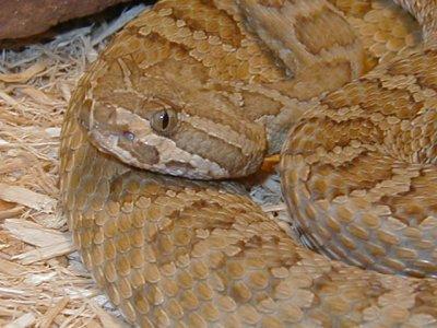 Grand Canyon rattlesnake