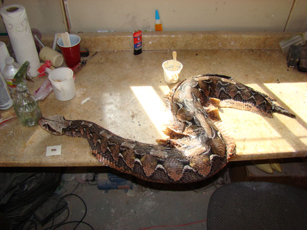 Mounting a Gaboon Viper