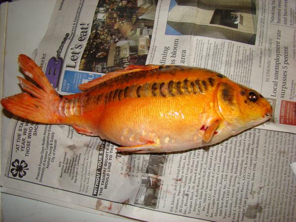 Koi fish page 103 for Koi fish life span
