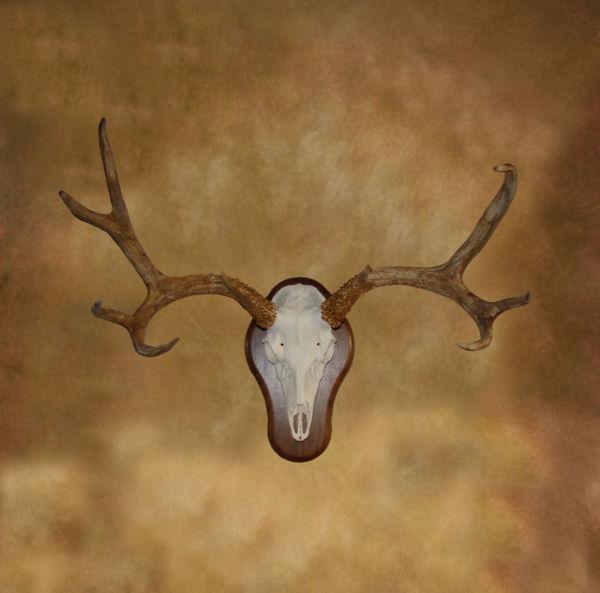 Mule Deer Mule Deer European Mount
