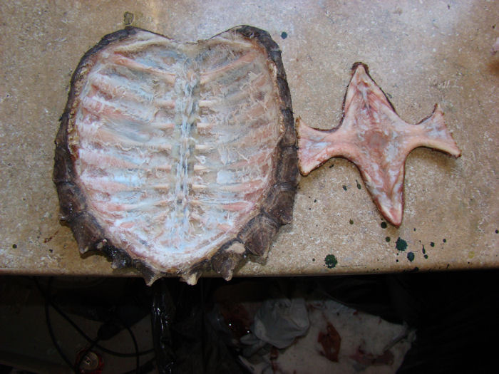 Snapping turtle shell - photo#4
